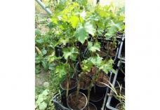 Разсадник Деметра-луковици, цветя, рози, храсти, лози, овошки